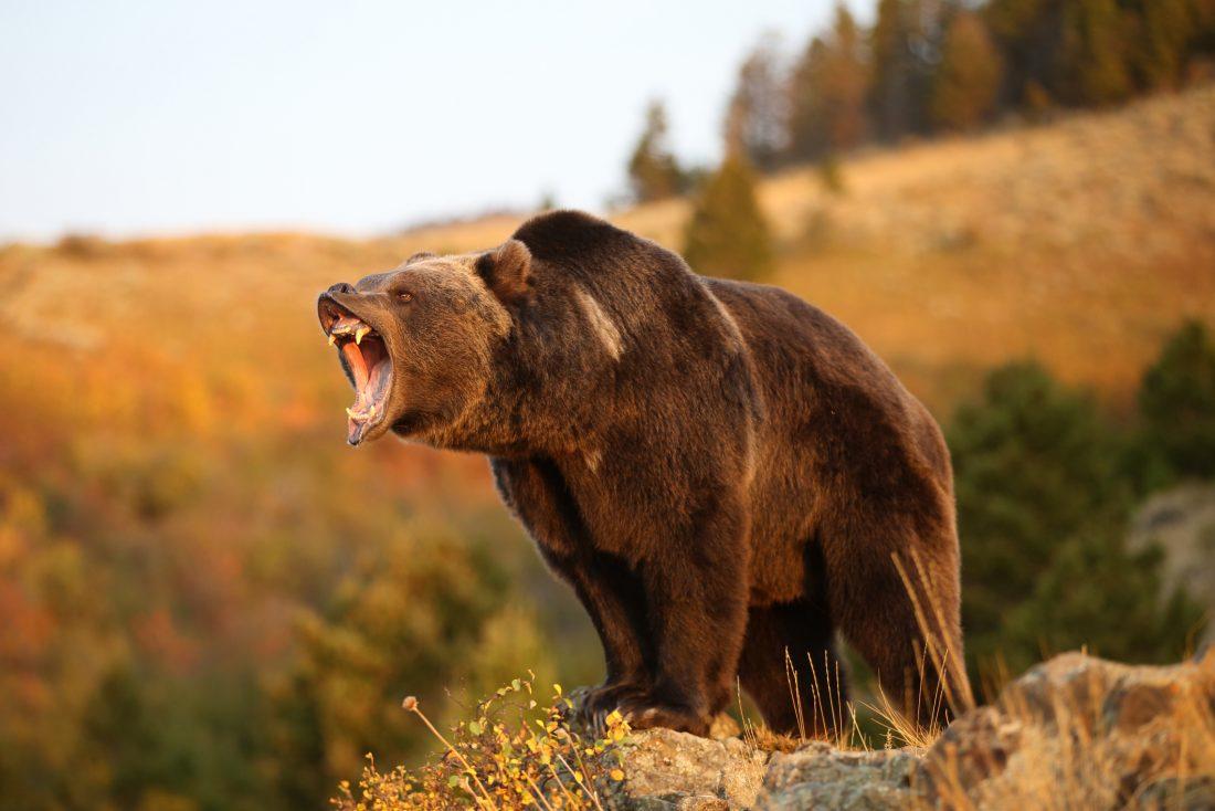 ayılar - boz ayı