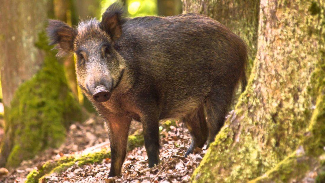 yaban domuzu